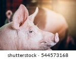pig in farm  | Shutterstock . vector #544573168