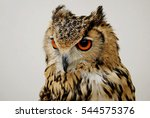 Long Eared Owl Close Up
