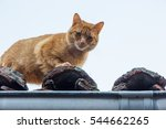 Red  Cat On Old House Roof