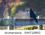 large black crow sitting on a... | Shutterstock . vector #544710892