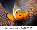 Tropical Reef Fish   Clownfish...