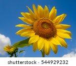 Close Up A Single Sunflower...