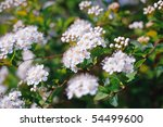 white blossoms in a flower... | Shutterstock . vector #54499600