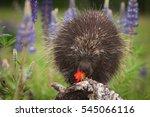 porcupine  erethizon dorsatum ... | Shutterstock . vector #545066116