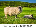 a scottish blackface sheep and...