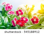 dianthus chinensis  china pink  ... | Shutterstock . vector #545188912