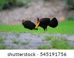 Small photo of Australian brushturkey or Australian brush-turkey (Alectura lathami) in Cairns, Australia