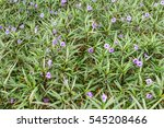 Small photo of Ruellia simplex (Britton's wild petunia, Mexican petunia, Mexican bluebell) field in Shenzhen, China. A species of flowering plant in the acanthus family, Native of Mexico, the Caribbean.