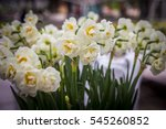 narcissus 'bridal crown' | Shutterstock . vector #545260852