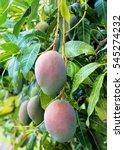 Close Up Of Mango Fruit On A...