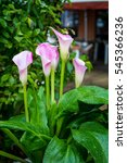 Pink Lilac Calla Lily Flowers...