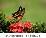 Beautiful giant swallow  tail Butterfly   feeding on some flowers - stock photo