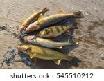 4 Walleye And 1 Perch Fish...