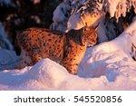 eurasian lynx  lynx lynx ...   Shutterstock . vector #545520856