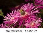 bee on pink flower over green... | Shutterstock . vector #5455429