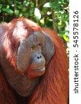 Small photo of Alpha male orangutan close-up, Tanjung Puting National Park.