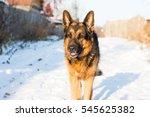 dog german shepherd in a...   Shutterstock . vector #545625382