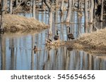 Pair Of Canada Geese Standing...