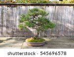 Mountain Pine Bonsai  Pinus...