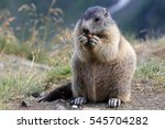 A Marmot In The Mountains. A...