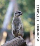 suricate  | Shutterstock . vector #545718688