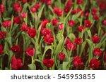tulips  flower | Shutterstock . vector #545953855