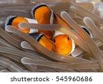 an ocellaris clownfish ... | Shutterstock . vector #545960686