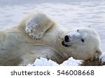 Small photo of Polar bear enjoys rolling in fresh snow, while munching on grasses. Autumn in Churchill, Manitoba, Canada.