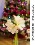 Small photo of White Amaryllis flowers with Christmas tree lights in background