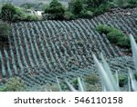 agave tequila landscape  mexico. | Shutterstock . vector #546110158