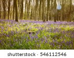 Bluebell Forest In The Warm...