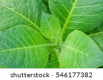 Small photo of Blooming tobacco plants with leaves