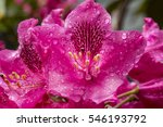 Magenta Flowers Of Rhododendro...