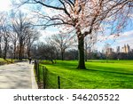 blooming tree in central park... | Shutterstock . vector #546205522