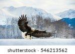 Adult Bald Eagle   Haliaeetus...