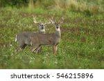 white tailed deer   Shutterstock . vector #546215896