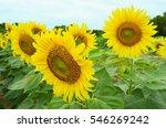 sunflowers garden. sunflowers...   Shutterstock . vector #546269242
