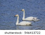 Family Of Whooper Swans  Cygnu...