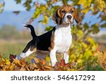 Portrait Of Nice Beagle