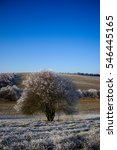 Wild plum tree and fields in the frosty winter sunny day. Blue sky in the background, grass with frost in the foreground.  - stock photo