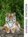 siberian tiger  panthera tigris ... | Shutterstock . vector #546765106