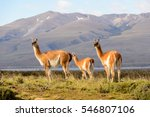 nature and guanaco in patagonia ... | Shutterstock . vector #546807106