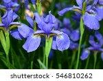 beautiful irises purple flowers.... | Shutterstock . vector #546810262