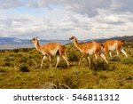 guanacos on a mountain hill in... | Shutterstock . vector #546811312