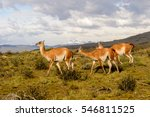 guanacos on a mountain hill in... | Shutterstock . vector #546811525