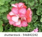 close up red geranium flowers...   Shutterstock . vector #546842242