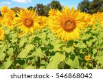 sunflower with  field and blue... | Shutterstock . vector #546868042