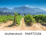 Small photo of Grape vines in a vineyard on a hot summer day in Western Cape, South Africa