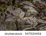 Small photo of Alpine pika mouse hiding on a heap of stones in high mountains in Altai, Russia