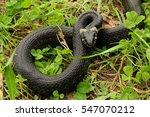 The Grass Snake  Natrix Natrix...